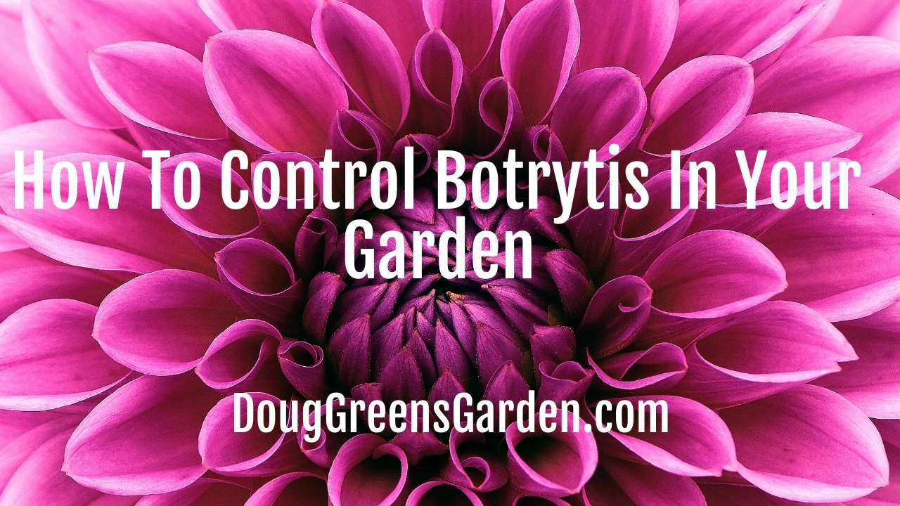 How To Control Botrytis In Your Garden