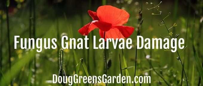 fungus gnat damage Fungus Gnat Larvae DamageFungus Gnat Larvae Damage
