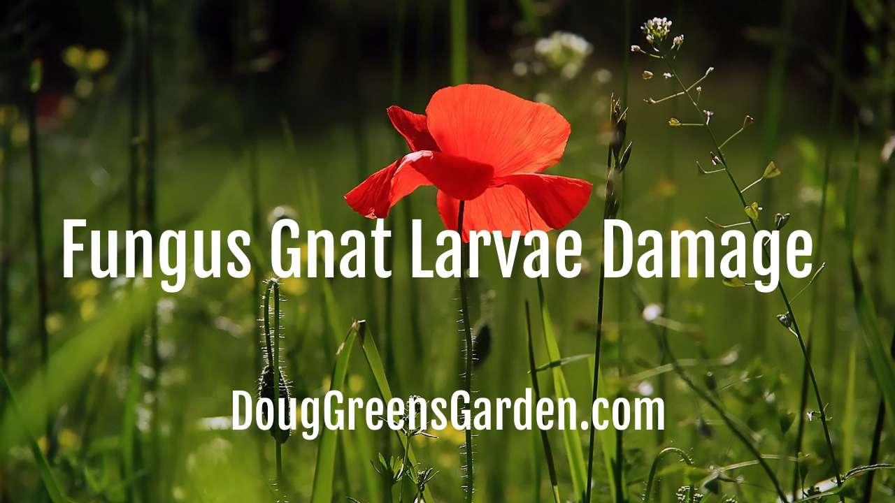 Fungus Gnat Larvae Damage