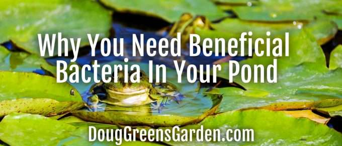beneficial bacteria pond