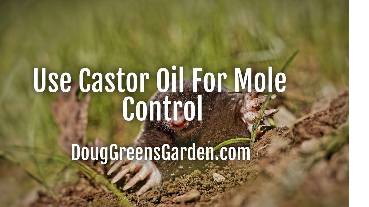 castor oil for moles
