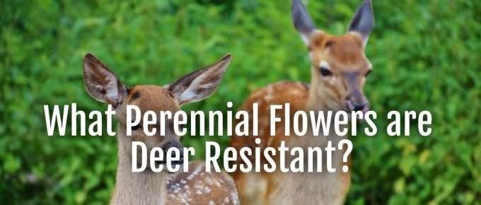 perennials deer resistant