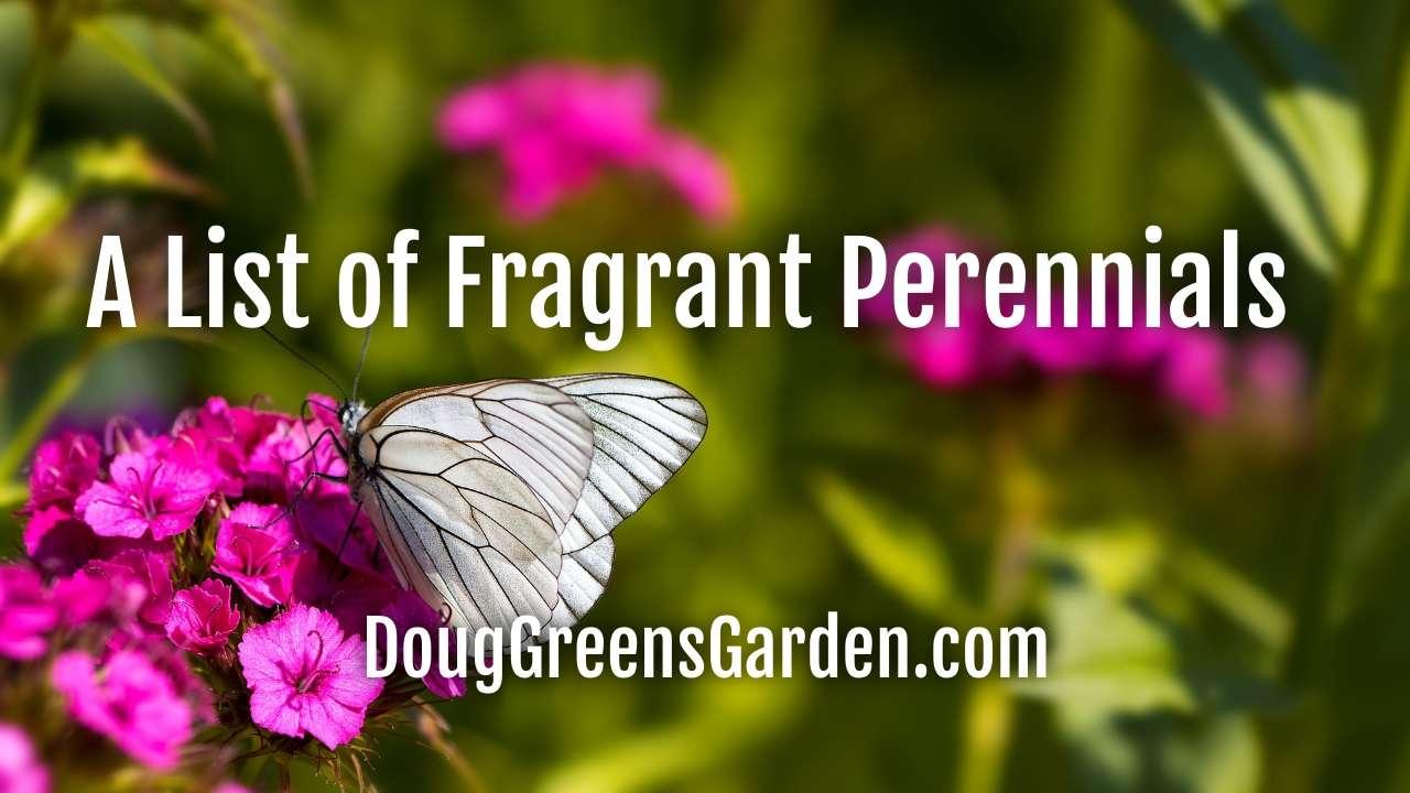 A List of Fragrant Perennials for Your Summer Enjoyment
