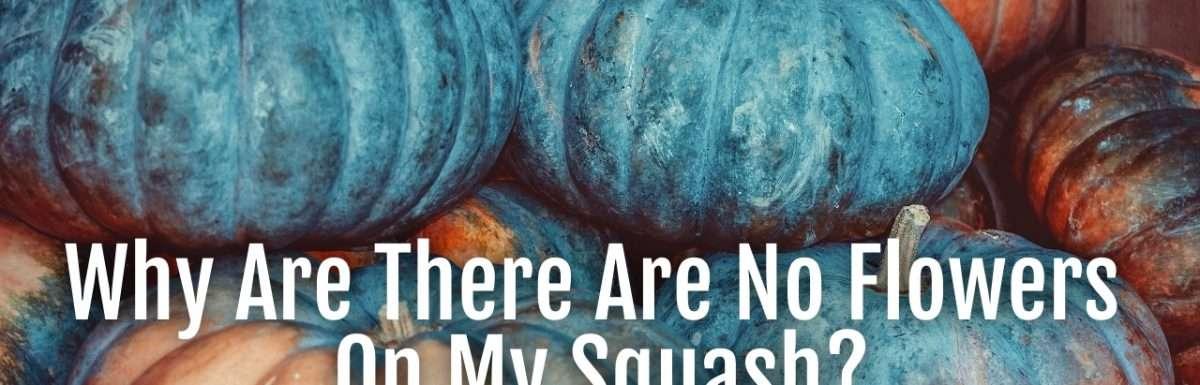 no flowers on squash