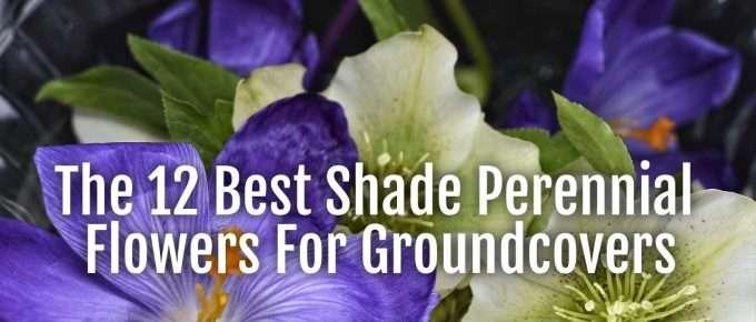 shade perennials groundcovers