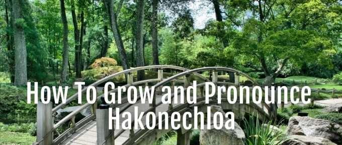hakonechola