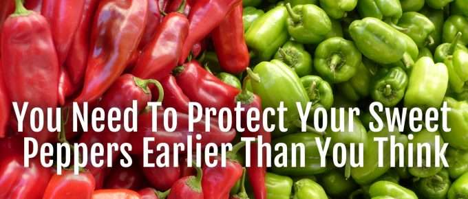 protect sweet peppers early