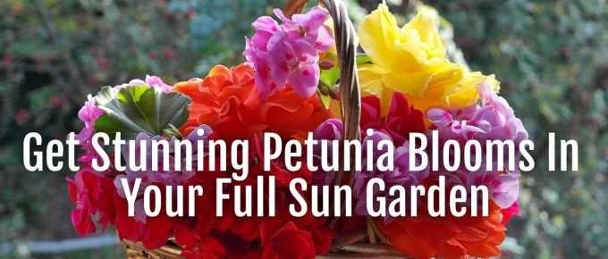 petunia blooms