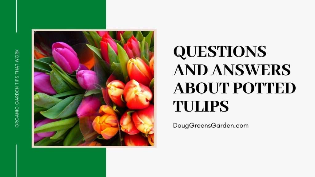 questions and answers about potted tulips