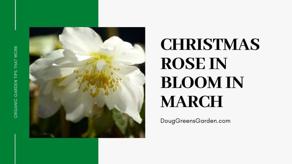 hellebore or christmas rose blooming in march