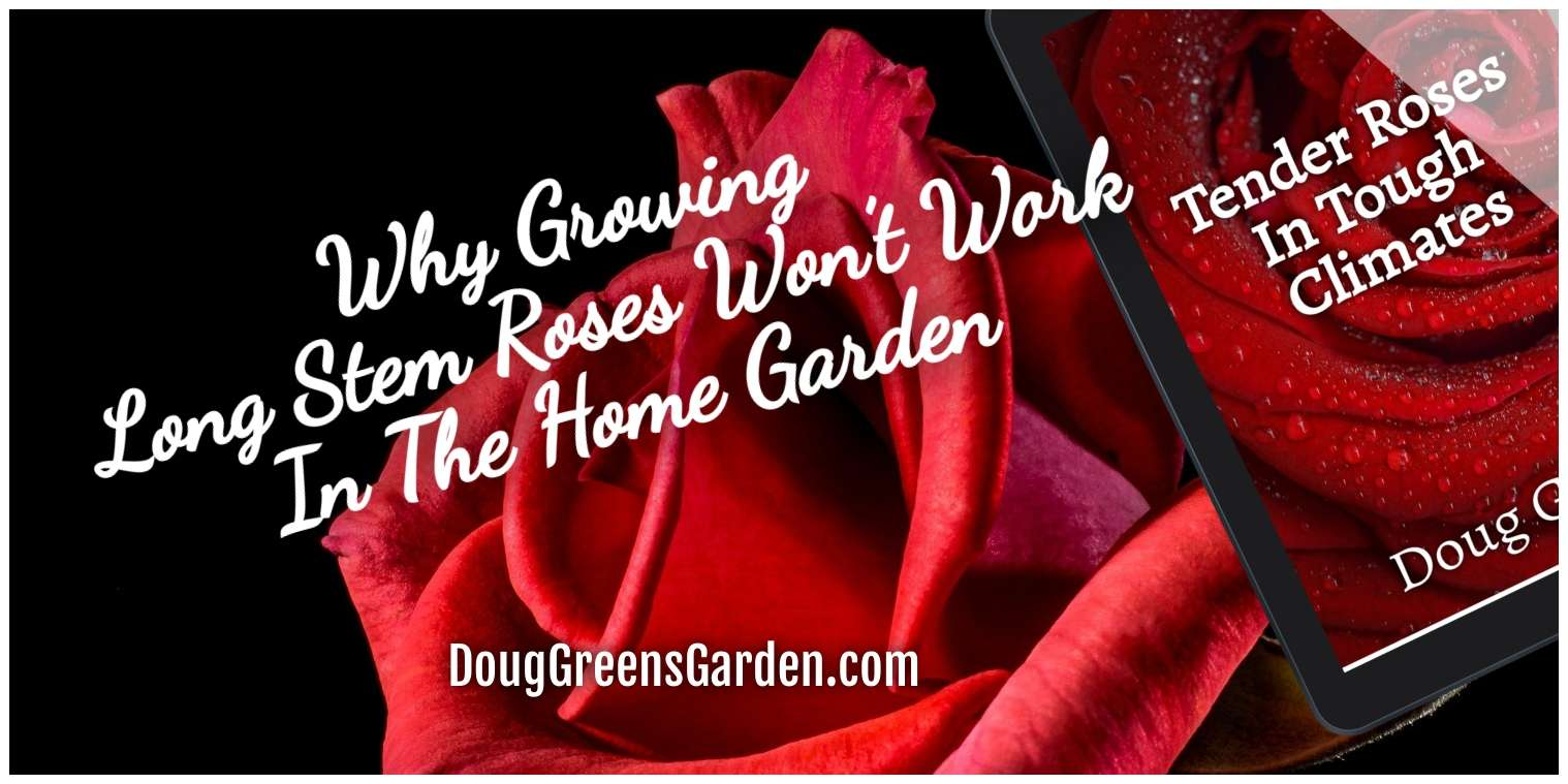 Growing Long Stem Roses Won't Work In The Home Garden