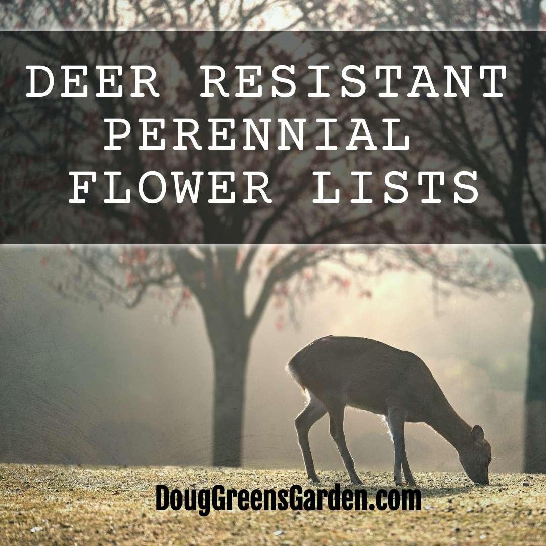 Deer Resistant Perennial Flowers