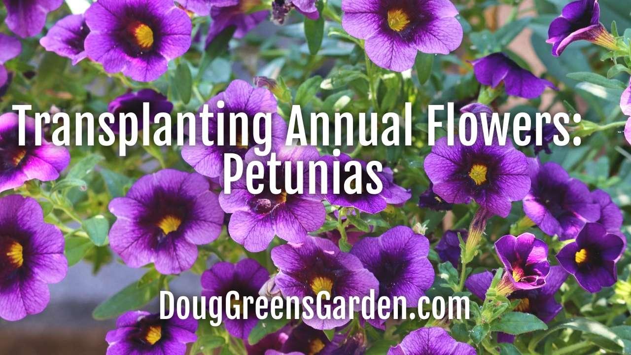 I'm Transplanting Annual Flower Seedlings
