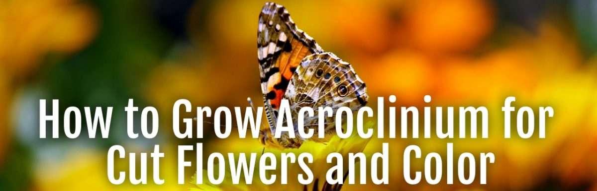 accroclinium