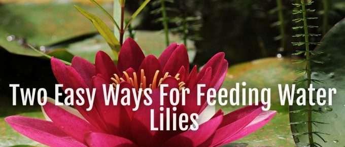 feeding waterlilies