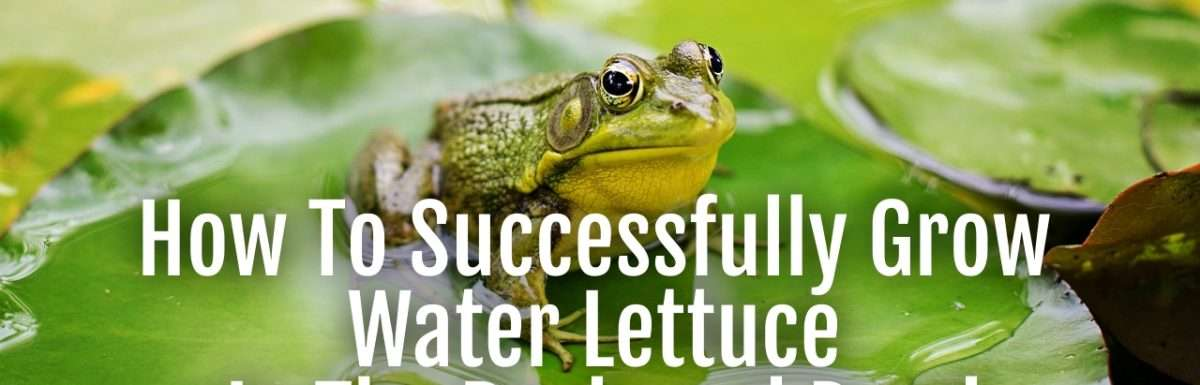 grow water lettuce