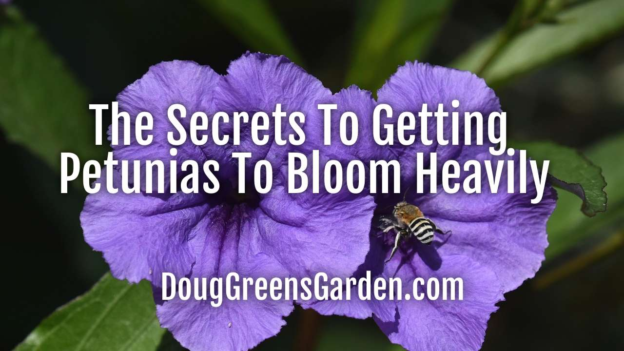 The Secrets To Getting Petunias To Bloom Heavily