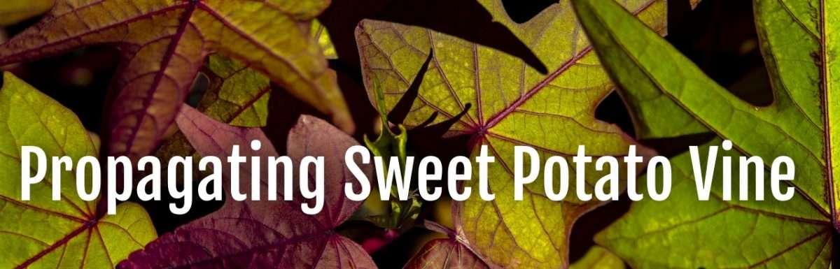 propagate sweet potato vine